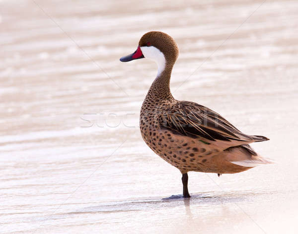 Bahama duck on sandy beach Stock photo © backyardproductions