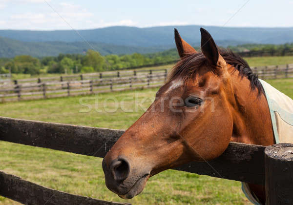 Old chestnut horse in rural meadow on fence Stock photo © backyardproductions