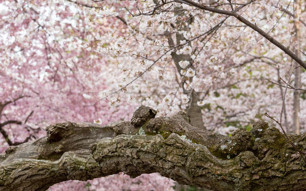 Detail of gnarled trunk of cherry blossom flowers Stock photo © backyardproductions