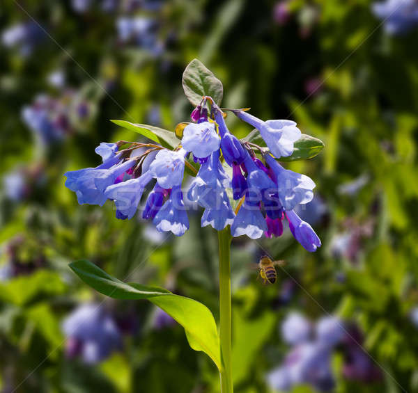 Close up of bluebells in April Stock photo © backyardproductions