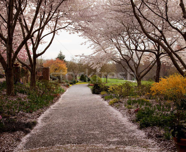 Stock photo: Cherry blossom petals fall on path