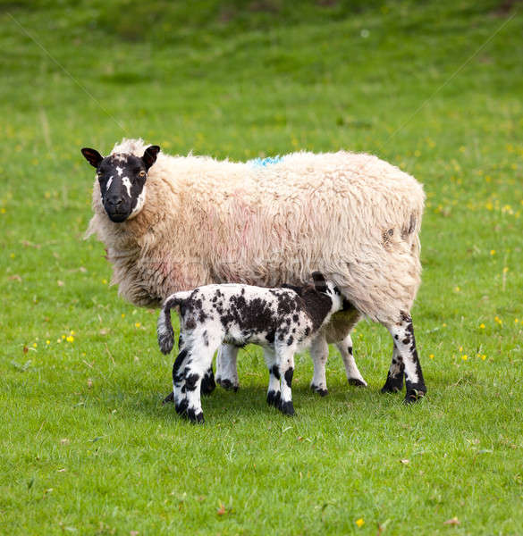 Pair of black welsh lambs in meadow Stock photo © backyardproductions