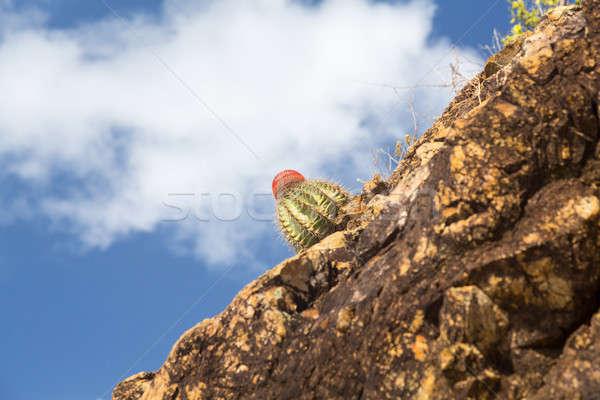 Turks Cap cactus in rocks on St Thomas Stock photo © backyardproductions