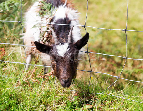 Head of lamb or sheep stuck in wire fence Stock photo © backyardproductions