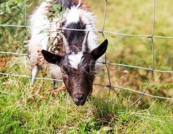 Cabeça cordeiro ovelha arame cerca Foto stock © backyardproductions