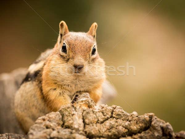 Sevimli çizgili sincap iyi fındık tohumları dostça Stok fotoğraf © backyardproductions