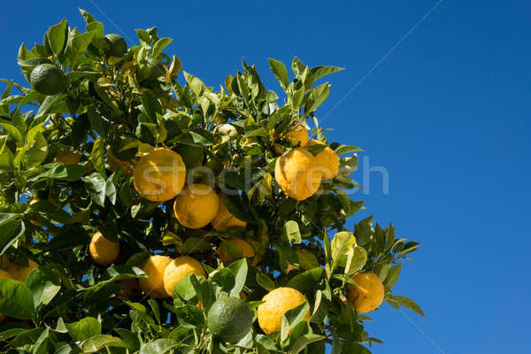 Hybride arbre croissant oranges citrons arbre fruitier Photo stock © backyardproductions