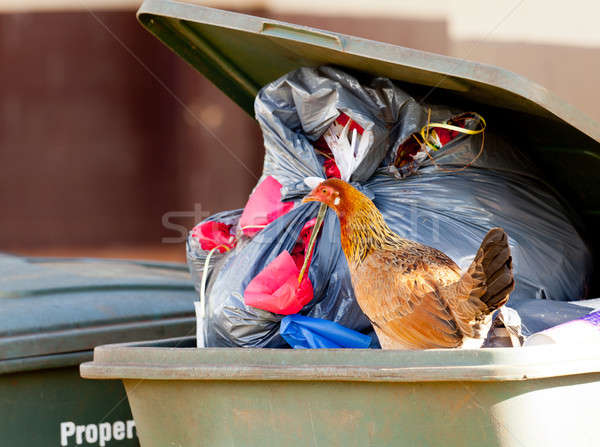 Hen in trash container Stock photo © backyardproductions