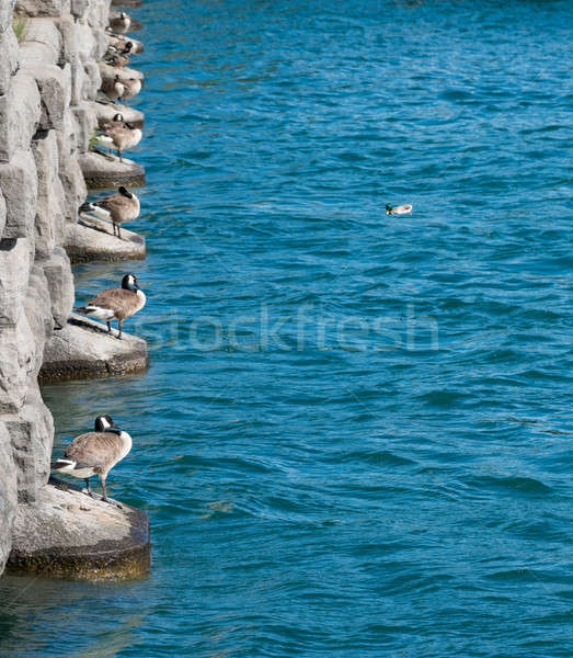 Ducks line up by River Niagara from power station Stock photo © backyardproductions
