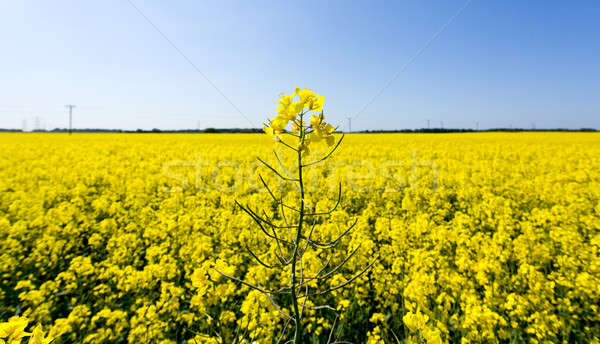 Oilseed rape blossoms Stock photo © backyardproductions