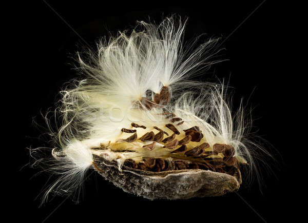 Macro photo of swamp milkweed seed pod Stock photo © backyardproductions