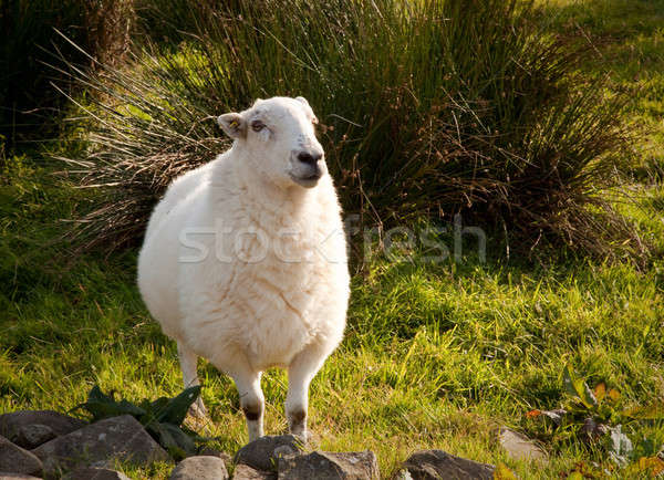 Welsh lamb in verdant meadow Stock photo © backyardproductions