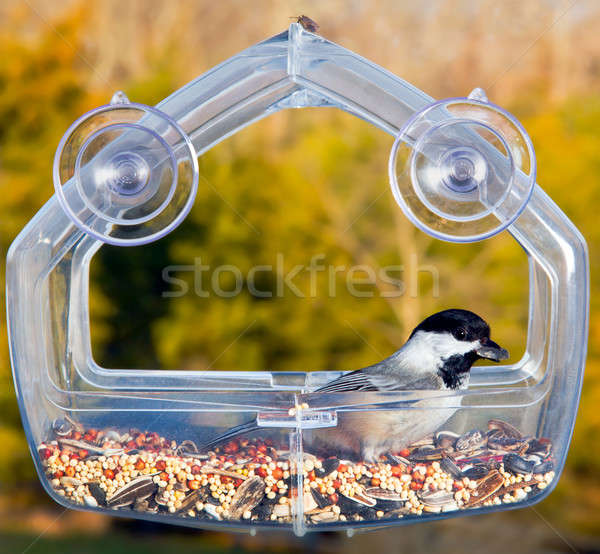 Black capped chickadee on feeding tray Stock photo © backyardproductions