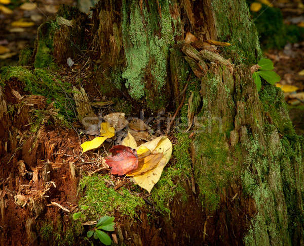 Zdjęcia stock: Pozostawia · starych · drzewo · czerwony · żółty · mech