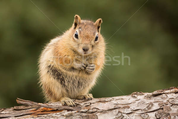 Cute Chipmunk well fed on nuts and seeds Stock photo © backyardproductions