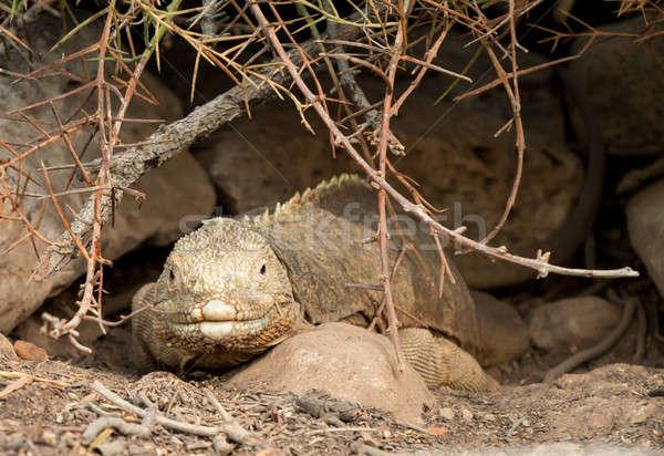 Terra iguana lagarto rocha Equador Foto stock © backyardproductions