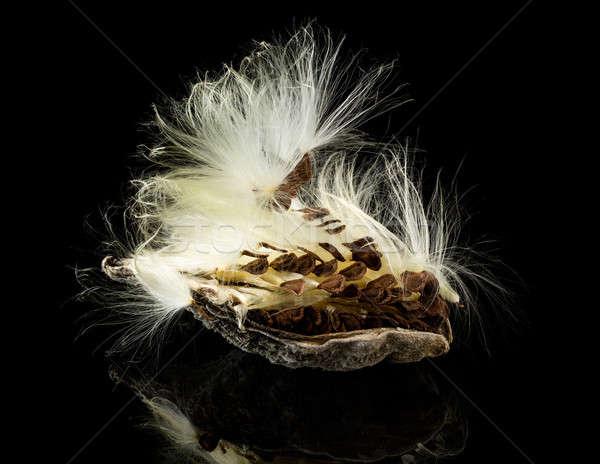 Macro photo of swamp milkweed seed pod Stock photo © backyardproductions