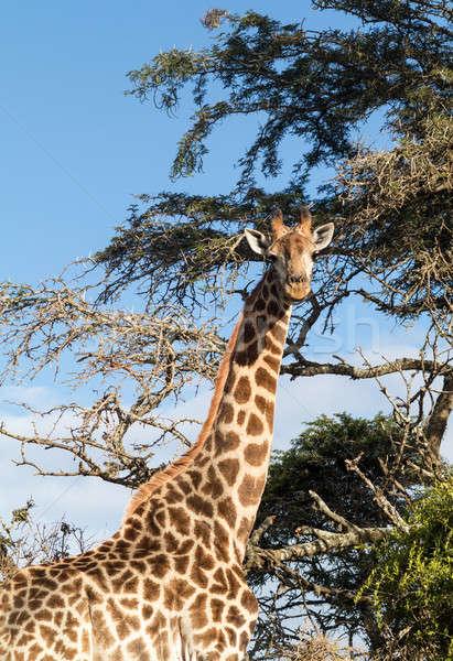 Alto África jirafa mirando hacia abajo cámara cabeza Foto stock © backyardproductions