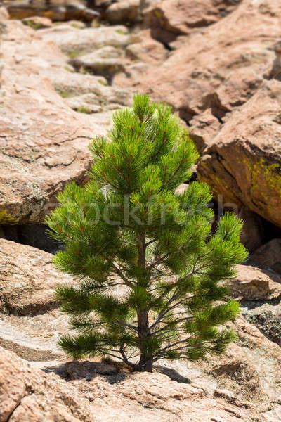 Küçük çam kaplumbağa kayalar Colorado genç Stok fotoğraf © backyardproductions