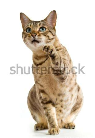 Bengal cat clawing at the air Stock photo © backyardproductions