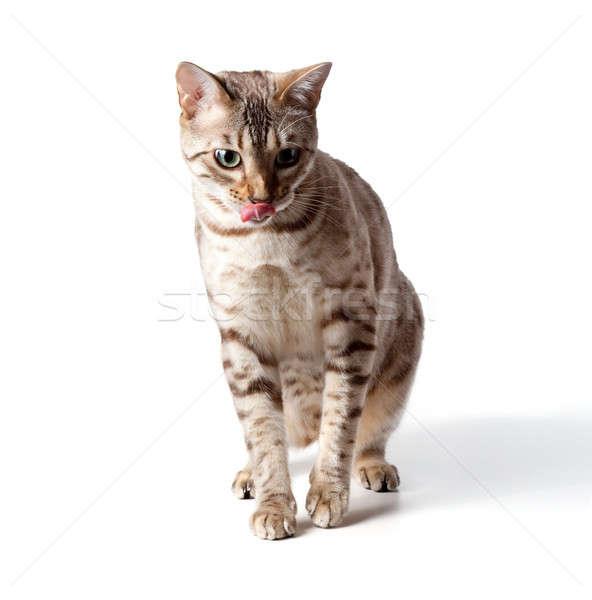 Smântână colorat tigru pisică izolat Imagine de stoc © backyardproductions
