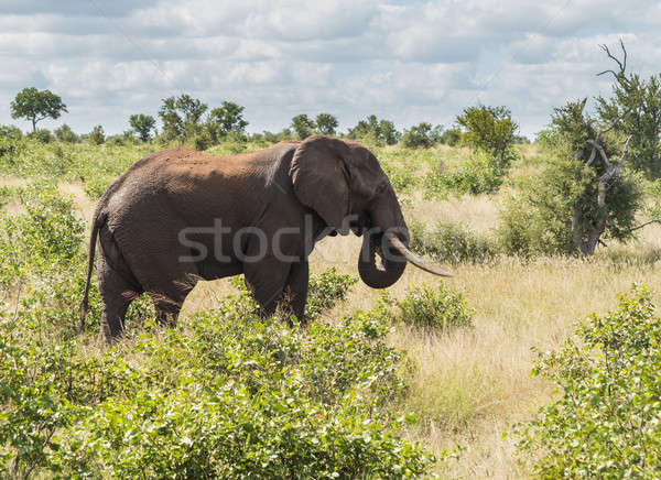 Single elephant in Kruger National park Stock photo © backyardproductions