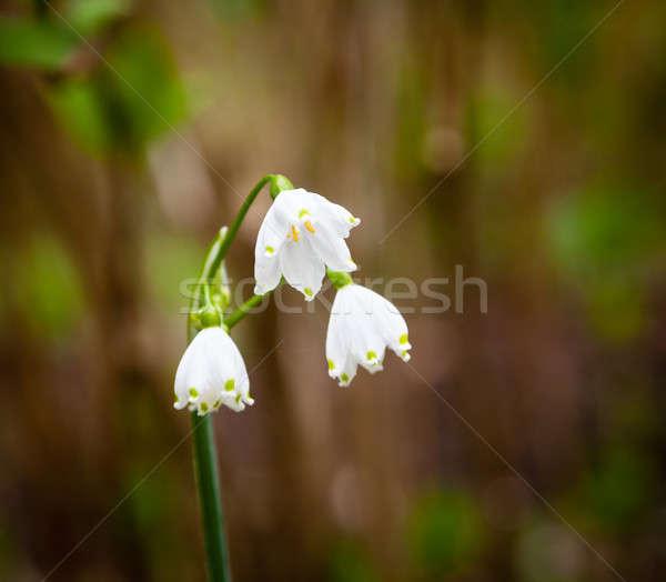 Three spring snowflake blooms Stock photo © backyardproductions