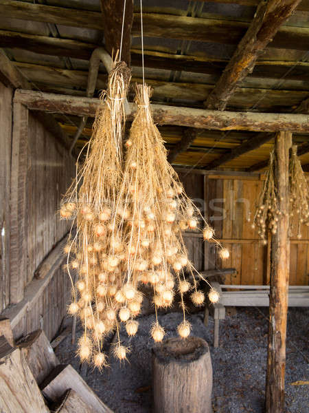 Bunches of Nigella seed pods hanging in barn Stock photo © backyardproductions