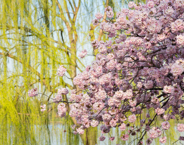 Stock photo: Detail photo of japanese cherry blossom flowers and willow tree