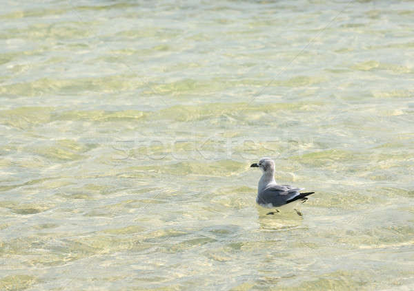 Seagull floating on calm clear sea in Florida Stock photo © backyardproductions