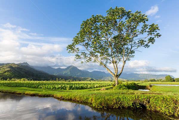 Panoramic view of Hanalei Valley in Kauai Stock photo © backyardproductions