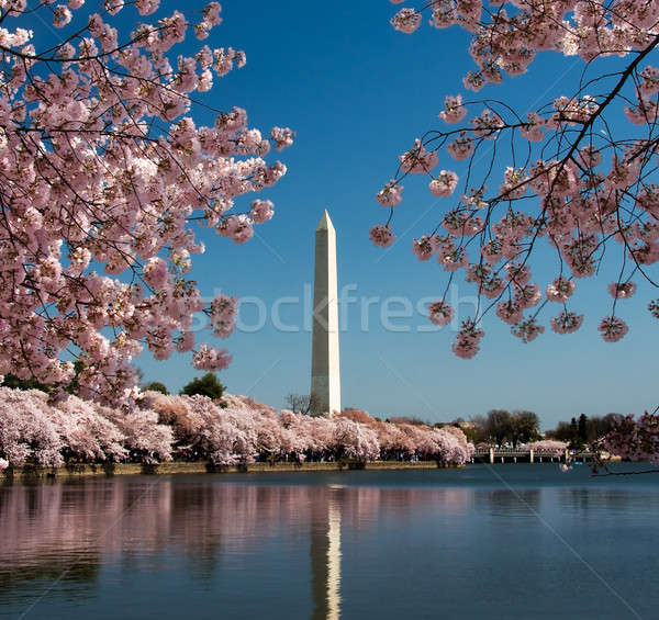 Fiore di ciliegio Washington Monument rosa japanese viaggio Foto d'archivio © backyardproductions