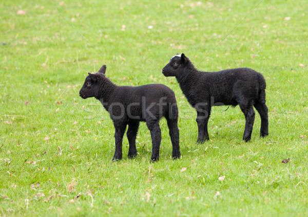Par negro pradera dos lana campo Foto stock © backyardproductions