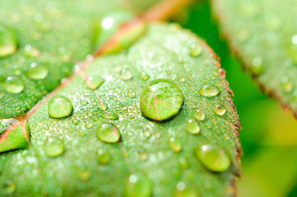 Morning dewdrops Stock photo © badmanproduction