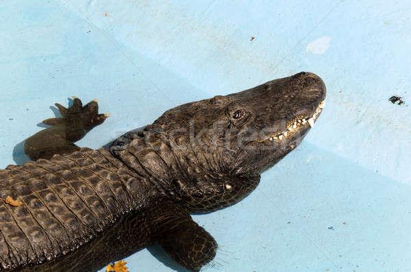 сонный крокодила синий землю глаза природы Сток-фото © badmanproduction