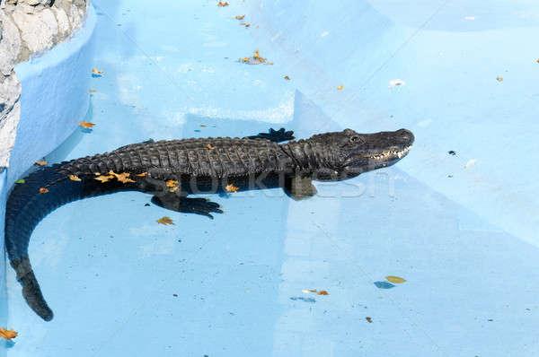 крокодила Бассейн глаза природы бассейна рот Сток-фото © badmanproduction
