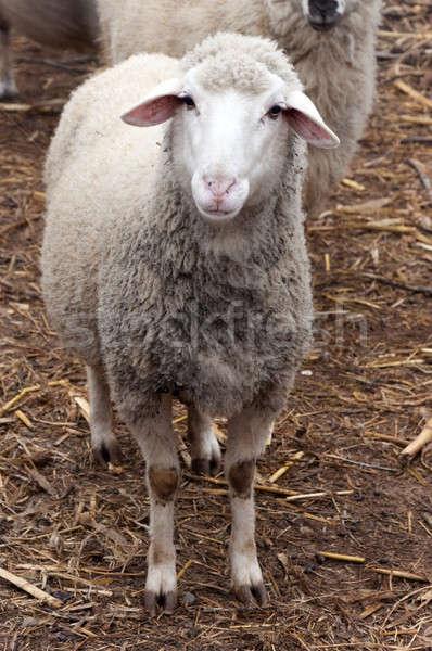 Single sheep Stock photo © badmanproduction