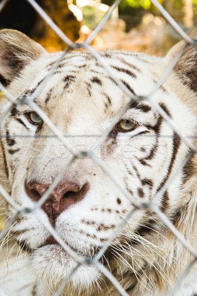 Zárolt tigris portré fehér állatkert arc Stock fotó © badmanproduction