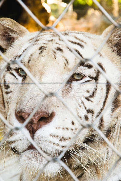 Locked tiger Stock photo © badmanproduction