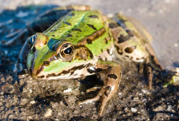 Green frog Stock photo © badmanproduction