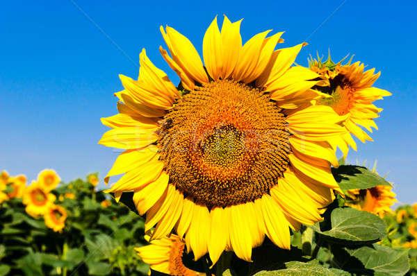 Sunny sunflower Stock photo © badmanproduction