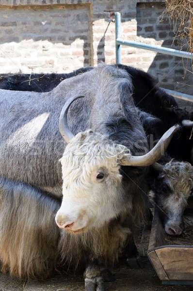 Haarig Kuh weiblichen Haar Bauernhof Käse Stock foto © badmanproduction