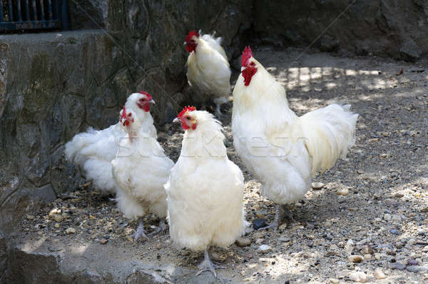 White chickens Stock photo © badmanproduction