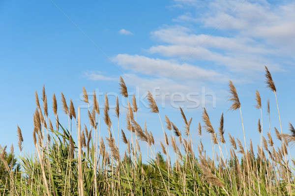 Seedy reed stalks  Stock photo © badmanproduction