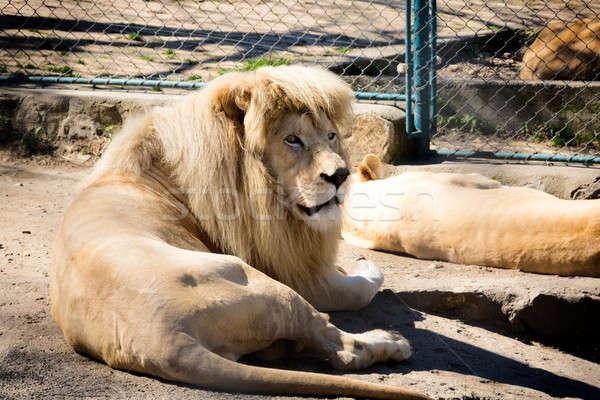 White lion Stock photo © badmanproduction