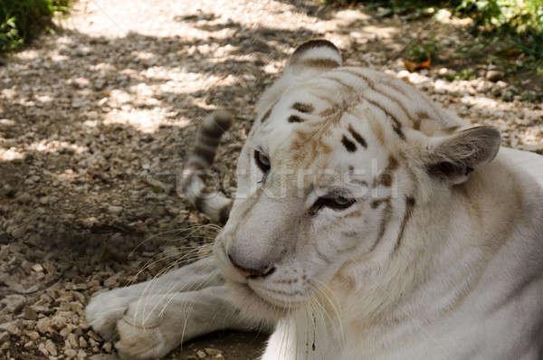 White tiger male Stock photo © badmanproduction
