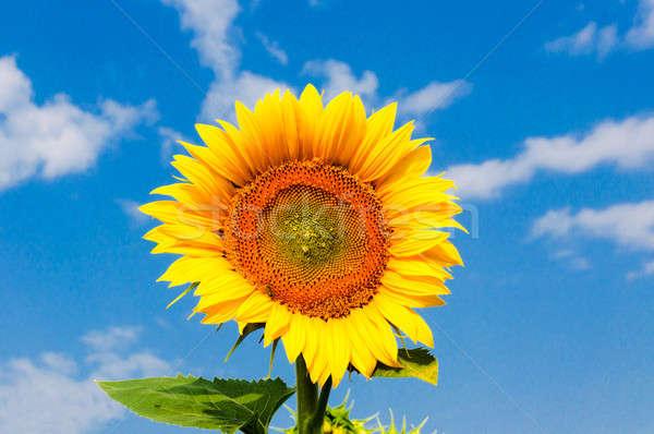 Single sunflower Stock photo © badmanproduction