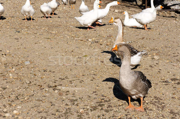 Gray and white ducks Stock photo © badmanproduction