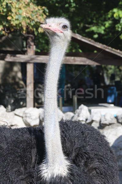 Ostrich female  Stock photo © badmanproduction