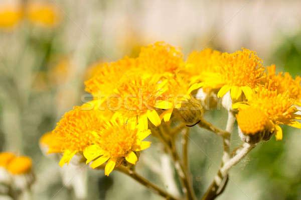 Virágpor virág makró textúra háttér narancs Stock fotó © badmanproduction